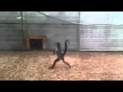 Animals Walking Like Humans Compilation